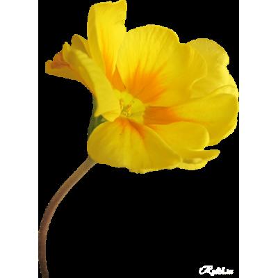 Эшшольция – цветок из солнечной Калифорнии. Выращивание и уход.